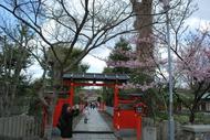 車折神社の早咲き八重桜(*^_^*)
