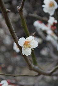 清涼寺(釈迦堂)の河津桜ヽ(・∀・)ノ