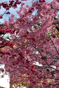 長徳寺のオカメ桜ヾ(*´∀`*)ノ